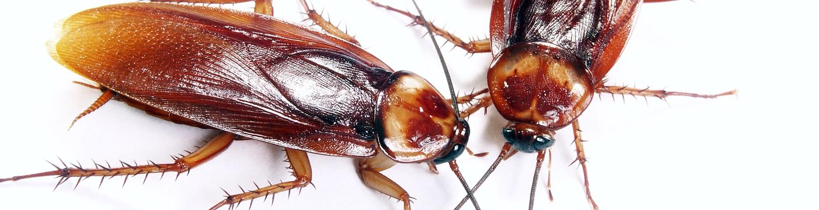 Insekten schabenähnliche Verhandlung im